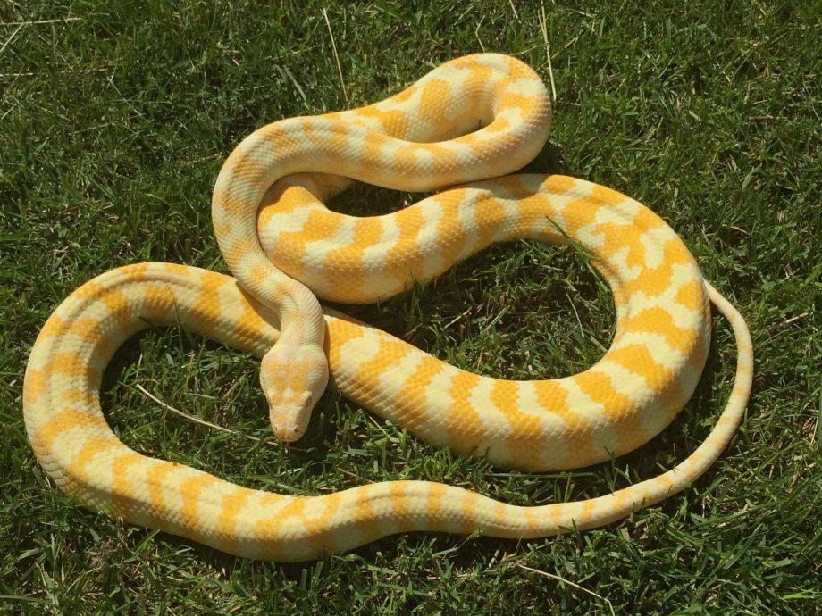 Albino darwin